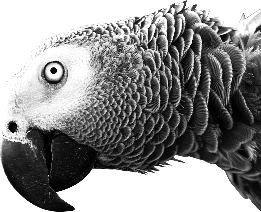 Parrot Four