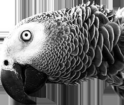 Parrot Three